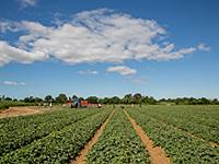 メロングリソディンで使われるメロンは南フランスの契約農家で栽培。